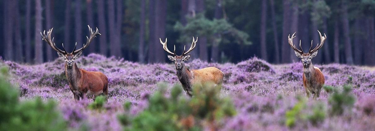 Edelherten in de Bloeiende Heide De Hoge Veluwe